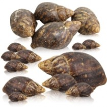 Live Snails 1 Pieces